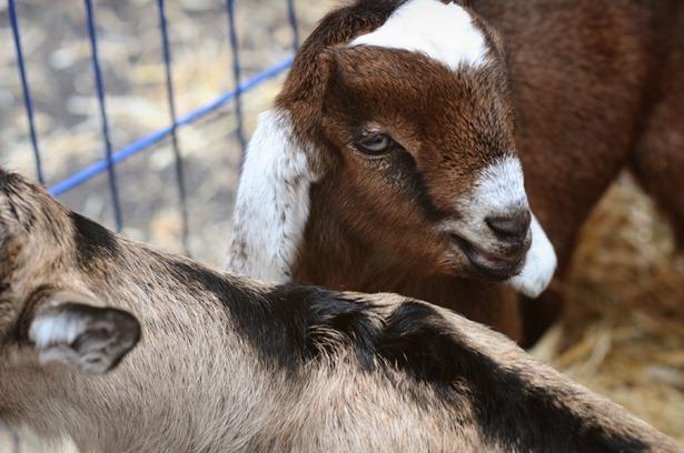 Baby goats farmers market