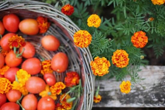 garden tomatoes & marigold - 1
