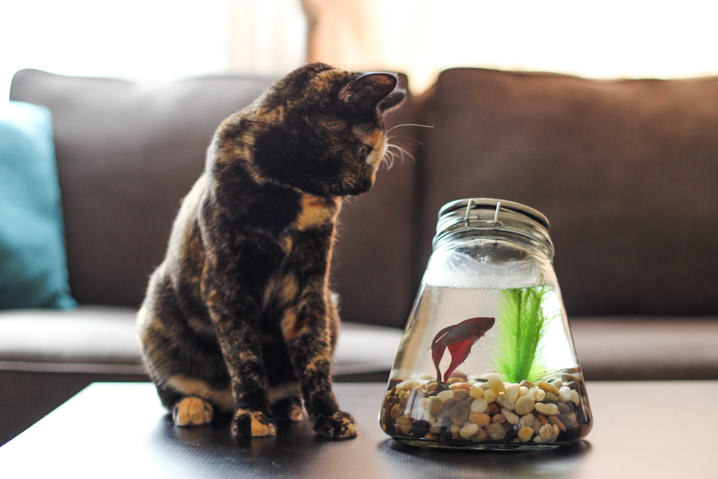 Thrifty Bowl Free Stock Photo Cat On Table Watching Betta Fish Cat On Table Watching Betta Fish Bowl Betta Fish Bowl Ideas Betta Fish Bowl Setup houzz-02 Betta Fish Bowl