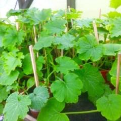 Squashplantor