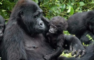 baby-sitting-gorillas