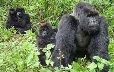 uganda_gorilla _Wildlife_safari