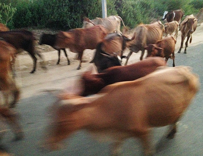 A herd who just wouldn't moooo out of the way, near Yala National Park