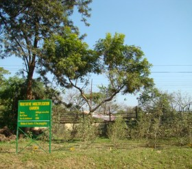 Azadirachta indica_Tree
