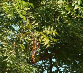 Azadirachta indica_leaves