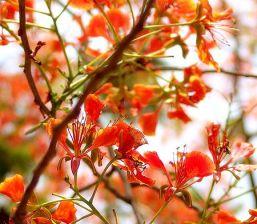 Delonix regia_Flowers