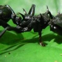 Ants in the Devil's Garden