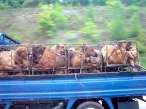 Dogs caged on truck