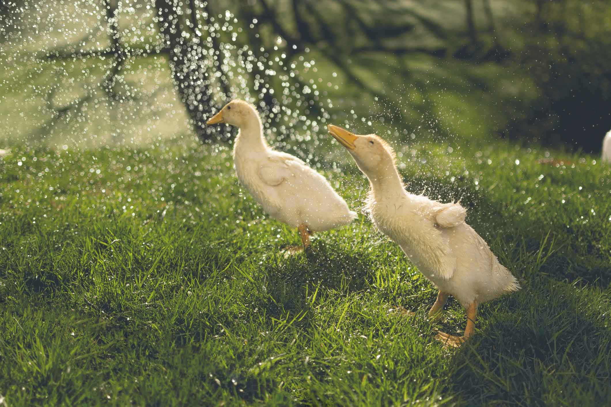 Ducks_0001