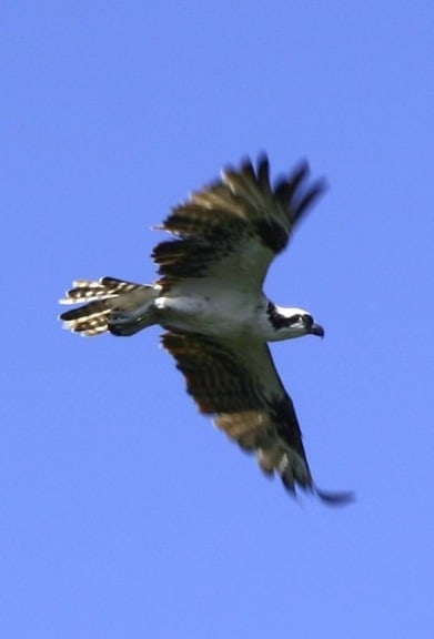 Osprey in Flight in J.N. Ding Darling National Wildlife Refuge