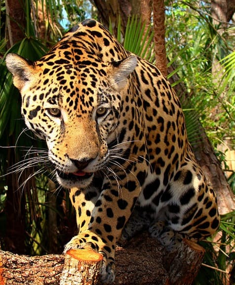 Junior-Jaguar-Belize-Zoo by Bjørn Christian Tørrissen