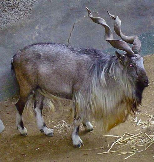 Markhor Photo