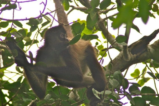 Spider Monkeys in Punta Laguna, Mexico