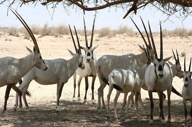 Arabian Oryx photo by Tamar Assaf