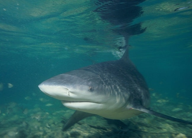 Bull Shark, by anonymous via Creative Commons