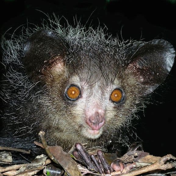 Weird Animals: Aye Aye