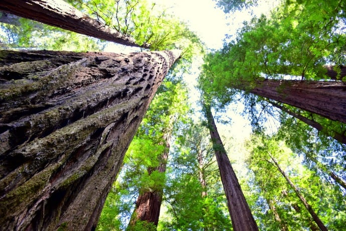 Avenue of the Giants California Redwood Trees Scenic Drive Looking Up
