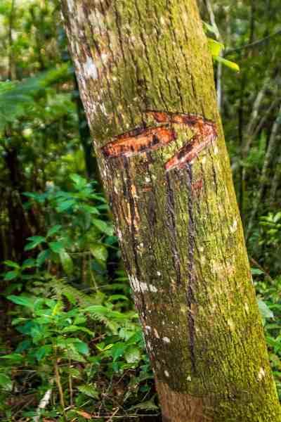 Chiclet_Tree_Cockscomb_Basin_Wildlife_Sanctuary_Belize