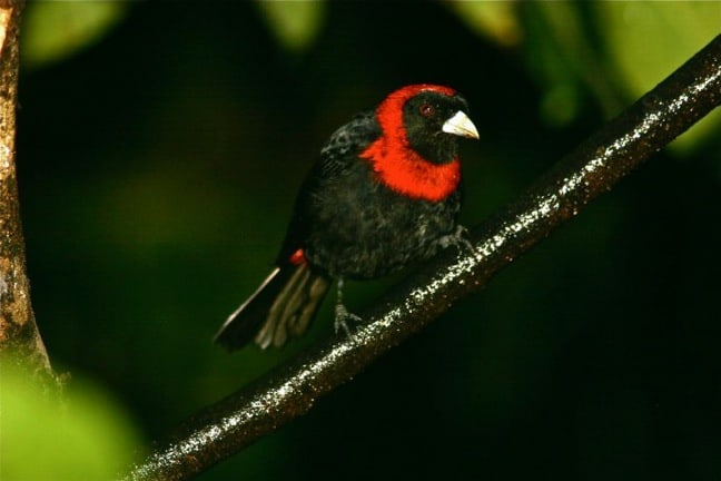 Crimson-collared Tanager Range Crimson Collared Tanager in
