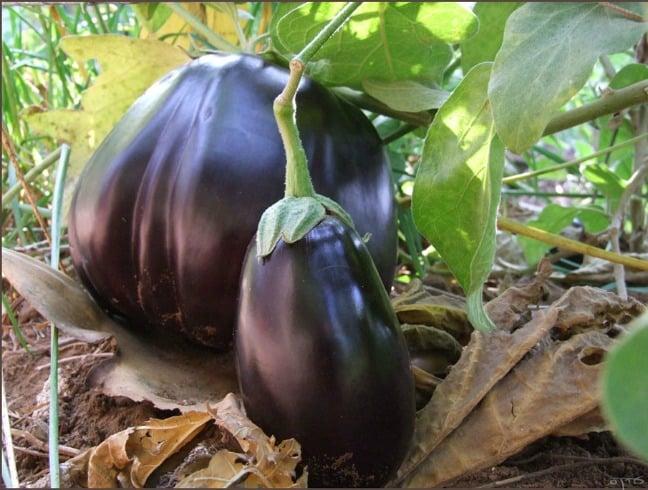 Eggplant in garden