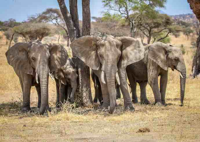 Endangered Elephants in Tarangire National Park, Tanzania