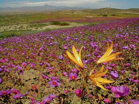 Flowers in Chile's Atacama Desert