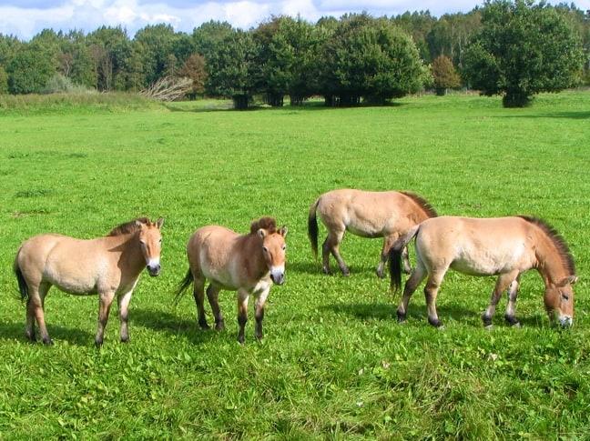 Herd of Prezewalsky's Horses