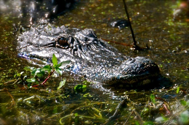 American Alligator in J.N. Ding Darling National Wildlife Refuge