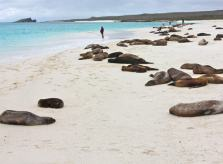Massive Sea Lion Colony in Espanola's Gardner Bay, Galapagos Islands