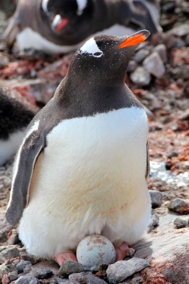 Gentoo Penguin Protects Her Egg, Antarctica