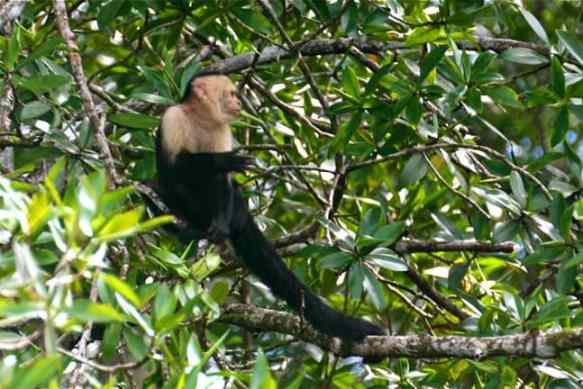 White Headed Capuchin Monkey, Costa Rica