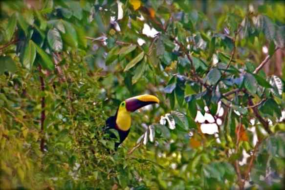 Chestnut Mandibled Toucan on Costa Rica's Osa Peninsula