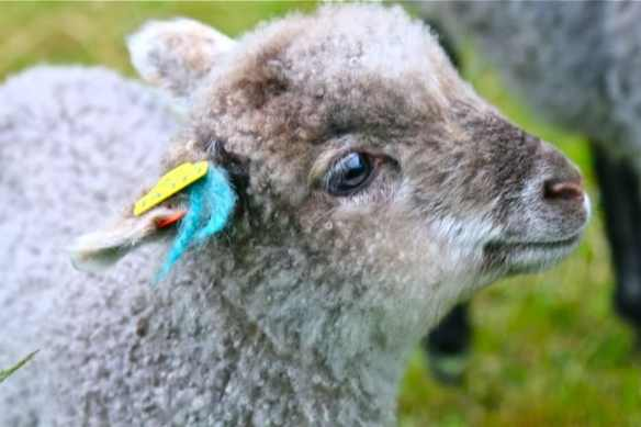Little Lamb on South Koster Island, Sweden