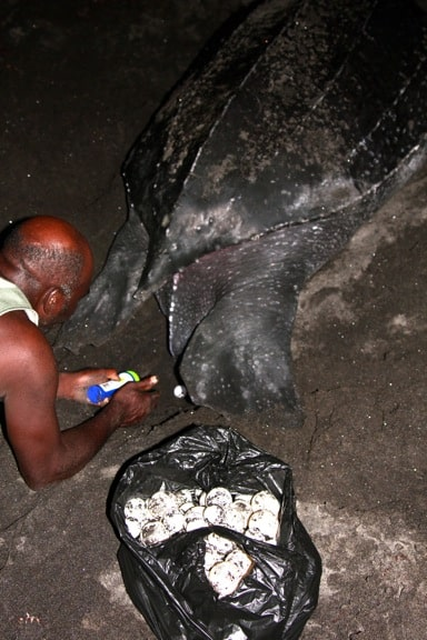 Leatherback Sea Turtle Laying Eggs, Dominica