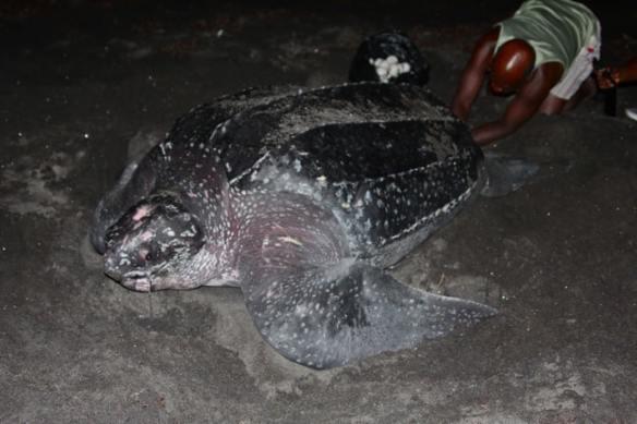 Leatherback Sea Turtle Laying Eggs, Dominica