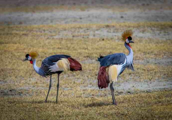 Ngorongoro Conservation Area- Crested Cranes