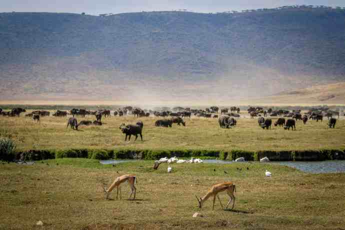 Ngorongoro Conservation Area: Gazelles and Buffalo