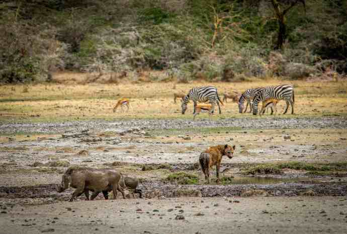 Warthogs & Hyena at a Ngorongoro Conservation Area Watering Hole