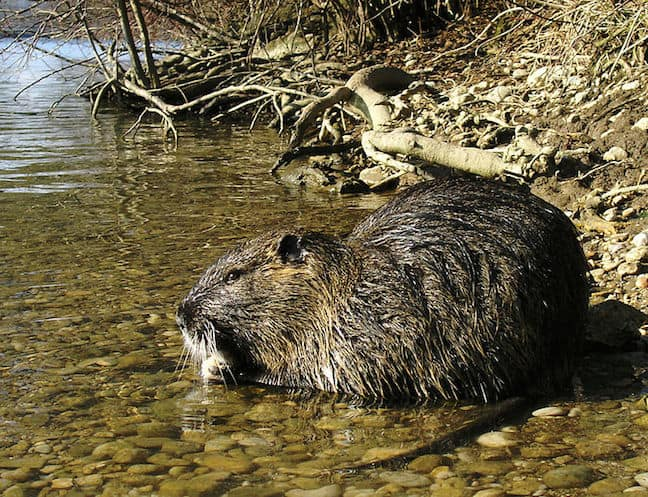 Weird Animals, Nutria