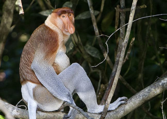 Proboscis Monkey photo by David Dennis via Creative Commons