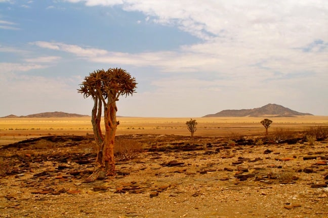 Quiver Trees in Namibia's Skeleton Coast Park