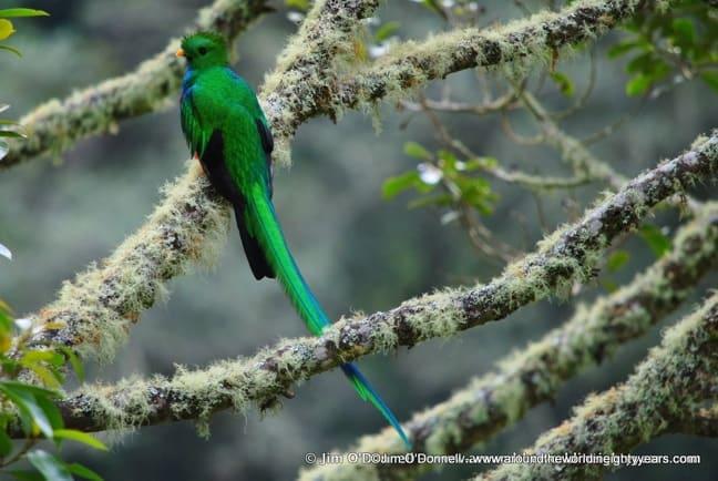Resplendent Quetzal Near Rio Savegre