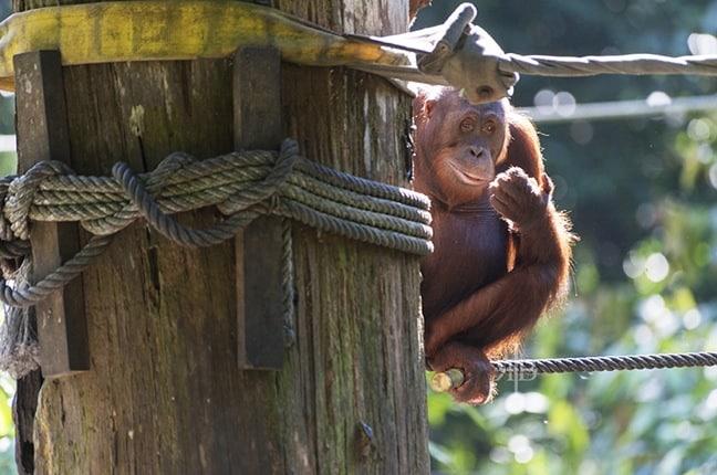 Bornean Orangutan at Sepilok Rehabilitation Centre, Malaysia