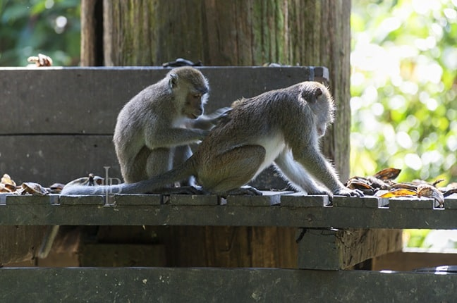 Long-Tailed Macaques at Sepilok Rehab Centre in Malaysia