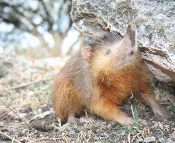 Weird Animals, Solenodon