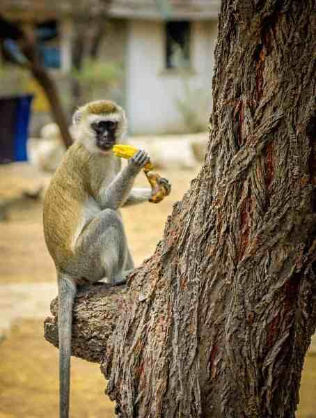 Tarangire National Park Vervet Monkey