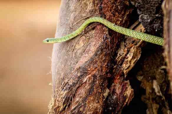 Boomslang Snake in Tarangire National Park, Tanzania