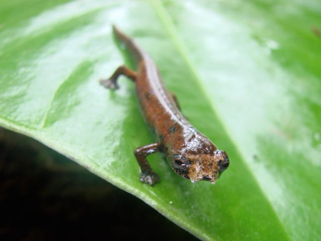 Weird Animals, Ugly Salamander