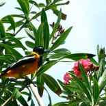 black_orange_bird