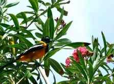 black_orange_bird